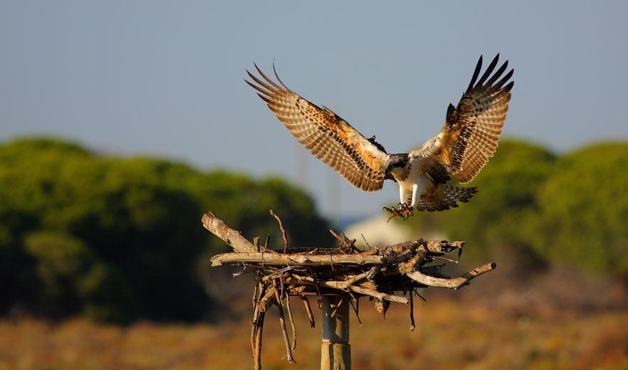 Nacen en Andalucía 12 pollos de Águila Pescadora, extinguida de la península el siglo pasado