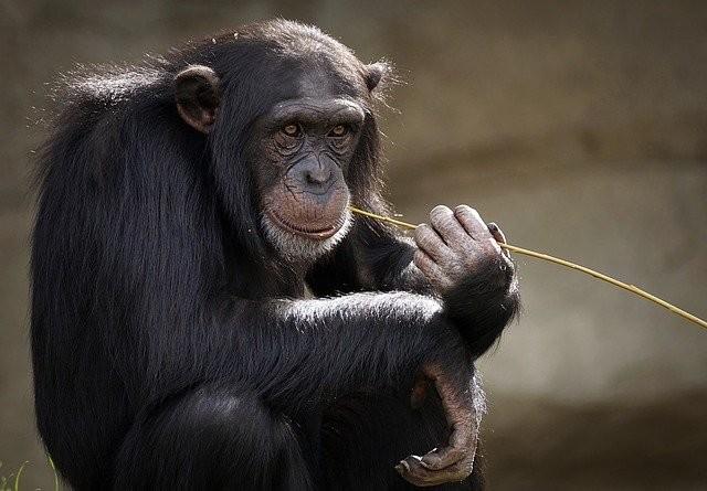 El genoma de los chimpancés y gorilas podría ayudar a entender los tumores humanos