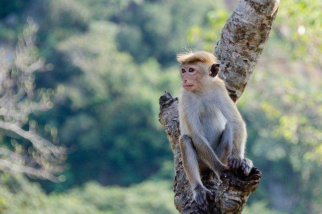 Pues resulta que… los macacos generan inmunidad contra el Coronavirus ¿Cómo lo hacen?