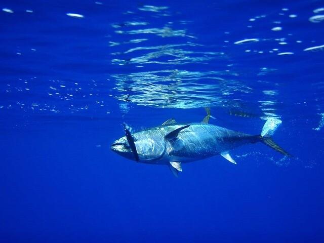 El atún, víctima de sus grandes propiedades nutricionales