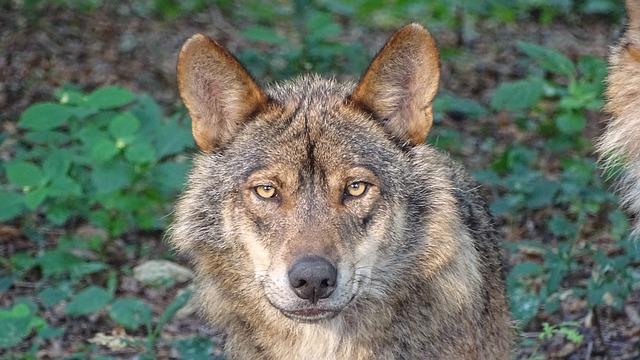 Lobo ibérico Andalucía