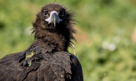 El buitre negro es el ave rapaz más grande de la Península Ibérica y habita en Huelva