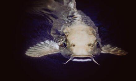 Piden a la Junta de Andalucía que erradique el siluro, un pez depredador introducido en el Guadalquivir que puede acabar con su ecosistema