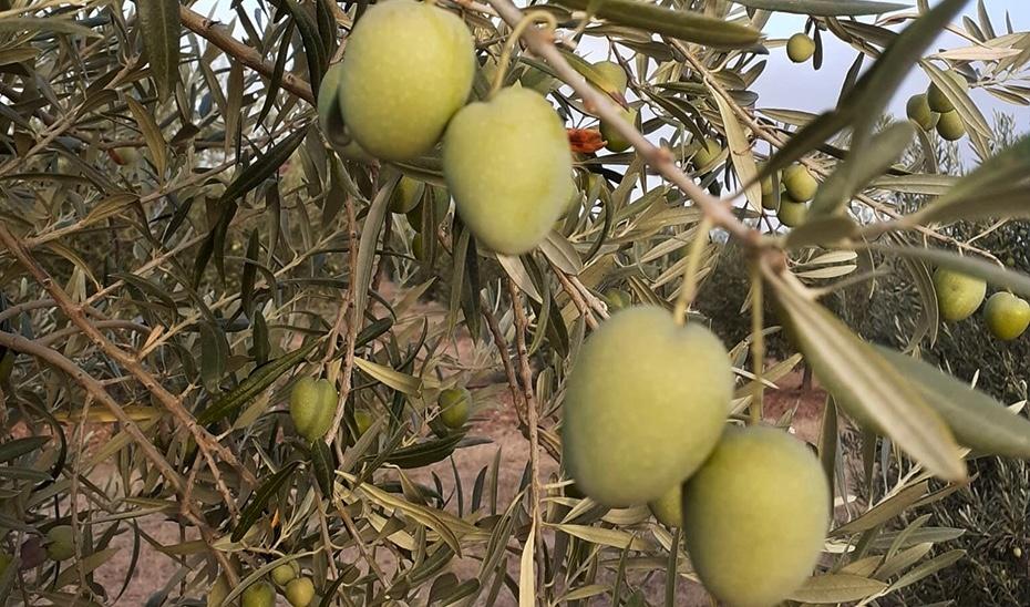 La recolección de la aceituna de mesa en Andalucía, con menos cosecha por la falta de lluvias y el calor
